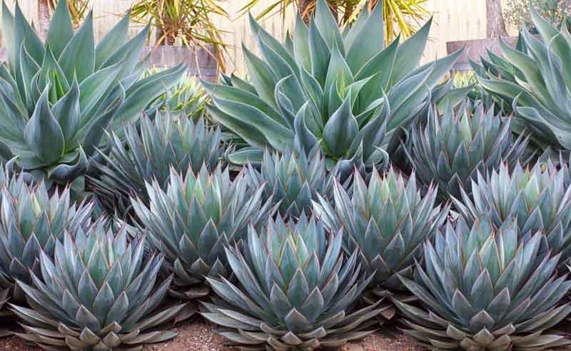 agave plant Buffets and Cabinets Inspired by Agave Plant Agave    Blue Flame
